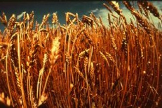The Wheat, The Tare & The Fire! Part 1